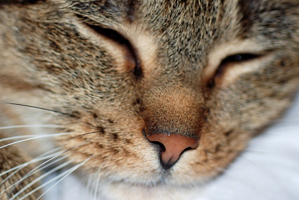 Wet nose: Nose of cat