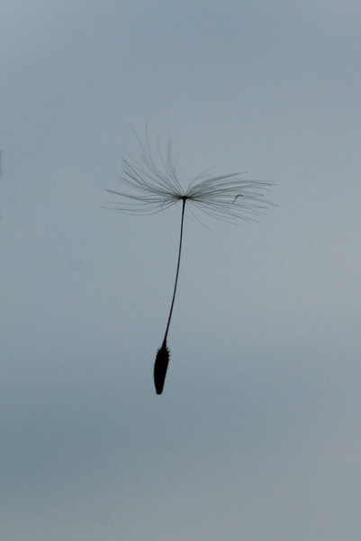 Little aviator on the wind: Flying pappus from a dandelion clock