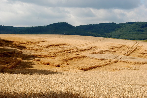 Wind damages on the cornfield: Mountain landscape with cornfield, Blankenburg, Germany