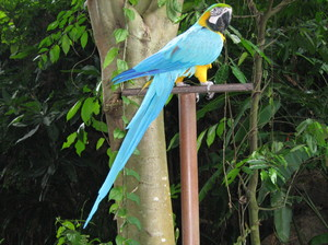 Blue Bird: Photo of a Blue Bird which I took at the Bali Zoo, do not know its proper name...