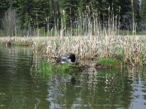 Loon on nest: Loon nesting on Alexis Lake, BC