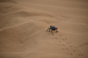 Desert beetle trail: A beetle takes a walk in the Thar desert in Rajasthan, India.