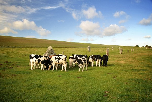 Stoned Cows: Cows at Kennet Avenue. Avebury