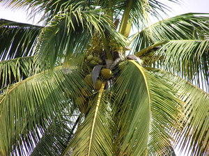 Coconut palm: Typical tropical view