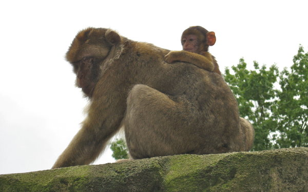 Barbary Macaque: Barbary macaque with young at Apenheul, the Netherlands