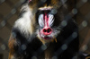 Mandrill: The mandrill is a primate of the Old World monkey family, closely related to the baboons and even more closely to the drill. It is found in southern Cameroon, Gabon, Equatorial Guinea, and Congo.
