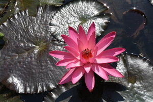 water-lily 2: water-lily