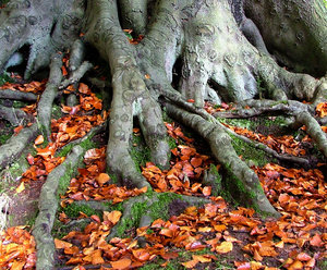 this tree has roots: PLEASE LEAVE A COMMENT!All my images are free to use as you wish, you do not have to ask me for permission, all I ask in return is that you leave a comment and if you've done something interesting with my shots, an email or a link in the comments box wi