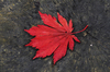 Autumn leaf: red autumn leaf