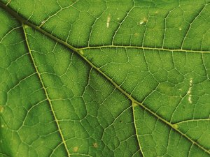 leaf: green leaf detail