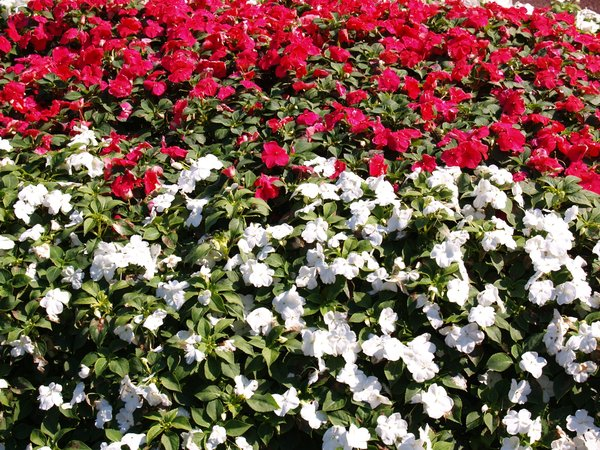 Flowers: a beautifull flower bed