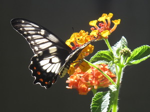 Dingy Swallowtail 2: A Dingy Swallowtail butterfly enjoying some lantana nectar.