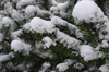 Snow and spruce: Branches from a spruce with snow on
