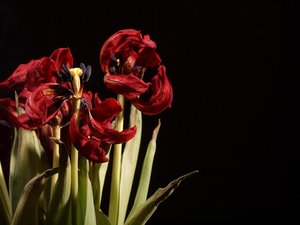 Withered tulip: Withered tulips with black background