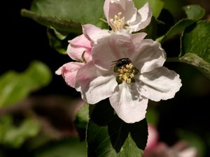Apple flower and fly: Apple flower wth a fly inside