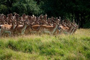 Deer: Deers and stags from a wild life park