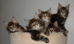 Kittens 1: Maine Coon kittens