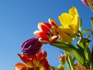Tulips: Tulips against a clear blue sky