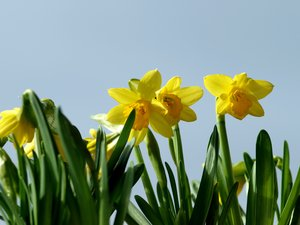 Daffodil: Daffodils in sunlight with a pale blue background (sky). The lens used is a Jupiter 11A.