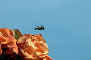 Take off: A small bee taking of from withered roses