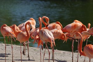 Bunch of flamingoes: Bunch of flamengoes standing next to a lake.