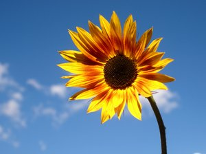 Sunflower: Sunflower against blue sky
