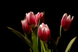 Bouquet of tulips: Bouquet of tulips on black background. Very narrow Depth Of Field (DOF).