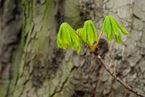 Spring chestnut leafs: The first leafs of the chestnut