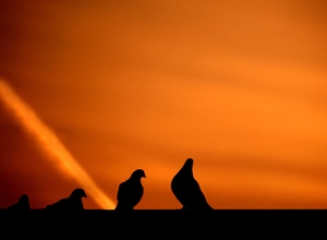 Pigeon lovers: Pigeons in silhoutte in front of red/orange sunset sky