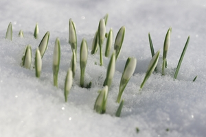 Snowdrops in snow: The first snowdrops getting through the snow and ice