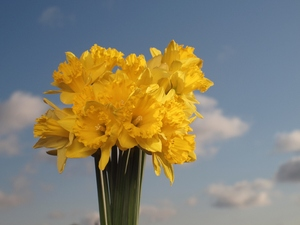 Daffodil: A bunch of daffodils in front of a blue sky.