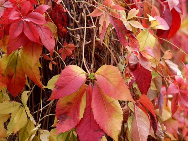 Autumn colors: Leafs in autumn colors