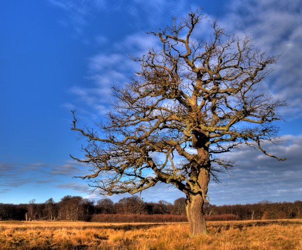 Solitude - HDR: Old oak; the picture is HDR derived from 7 individual pictures