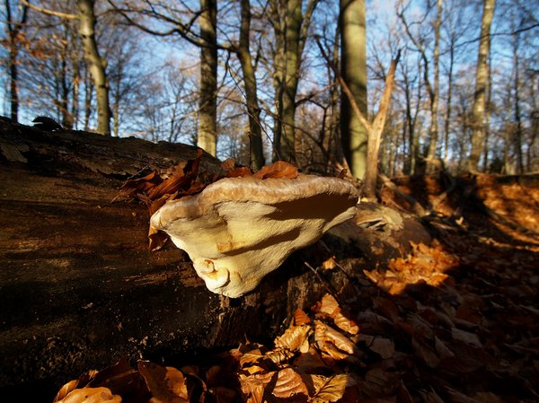 Fungus: Fungus in autumn forrest bed