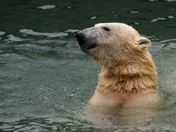 Polar bear in water: Polar bear swimming in water