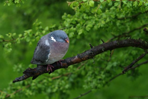 Dove in rain: A dove sitting on a branch waiting for the rain to stop