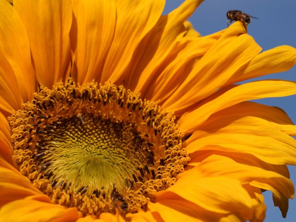 Sunflower and bee: Bee having a pitstop in a sunflower.
