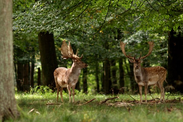 Deers in the glade: Deers in a glade in a autumn forest