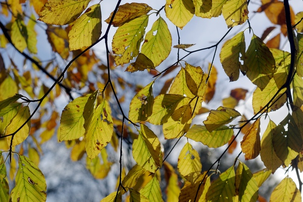 Autumn leafs: Backlit autumn leafs