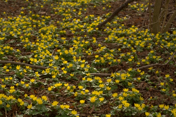 Winter aconite: Winter aconite as forest bed