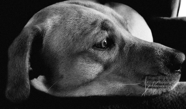 Labrador: a soft lit portrait of a sleey, curious dog