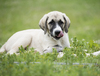 Anatolian Shepherd Puppy: An Anatolian Shepherd puppy laying on grassy meadow with a fish by its paws.