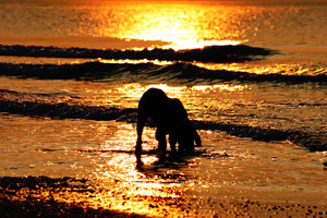 dog on the beach: dog drinking water