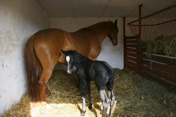 foal: foal with mother in stable