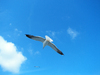 Flying Seagull 2: A seagull I saw flying freely around the boat to one of the Dutch Islands. Couldn't resist to take a shot. I really would like to know what you do with it. Please credit me if you use it.