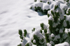 Small pine tree in the snow: A small pine tree covered under a big layer of snow.