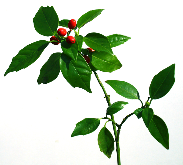 Green leaves: Green leaves with a red berry