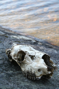 skull: could be an elk, I think, there was a huge skeleton nearby...