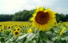 Sunflowers: Sunflower field, La Dordogne, France