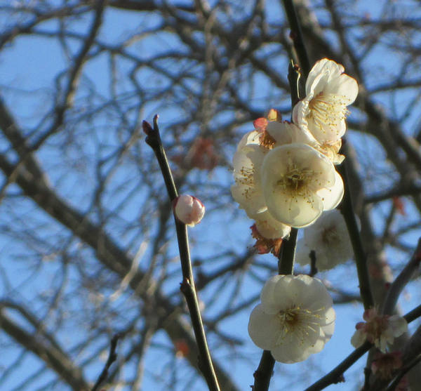 Early White Cherry Blossom: The cherry blossoms bloomed early this year, due to a warm winter, and I caught these white blossoms that were a few of the first to appear.